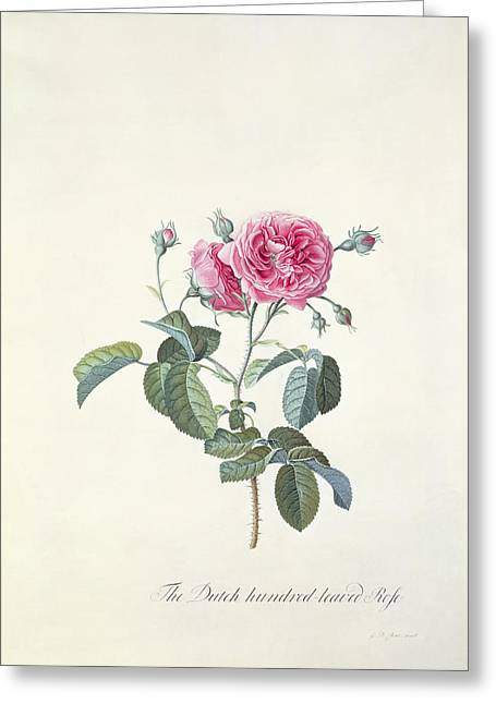 Rose Dutch Hundred Leaved Rose Greeting Card by Georg Dionysius Ehret
