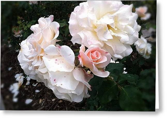Rose Garden @ Huntington Library Greeting Card