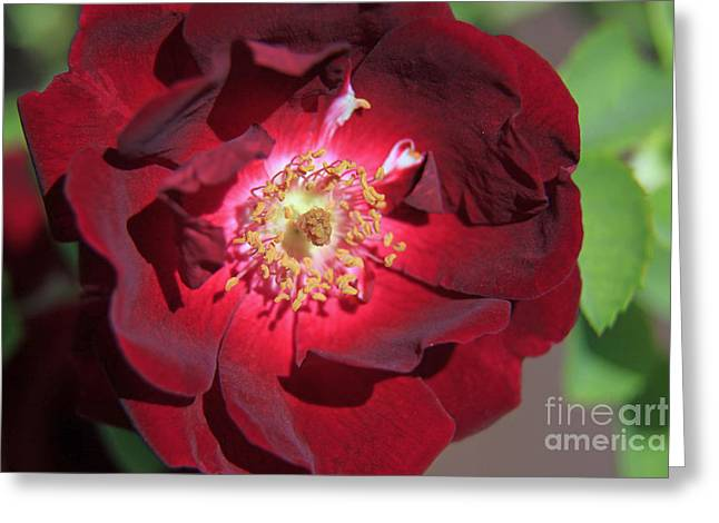 Rose Glow Greeting Card by Shawn Naranjo