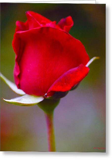Rose I Greeting Card by DiDi Higginbotham