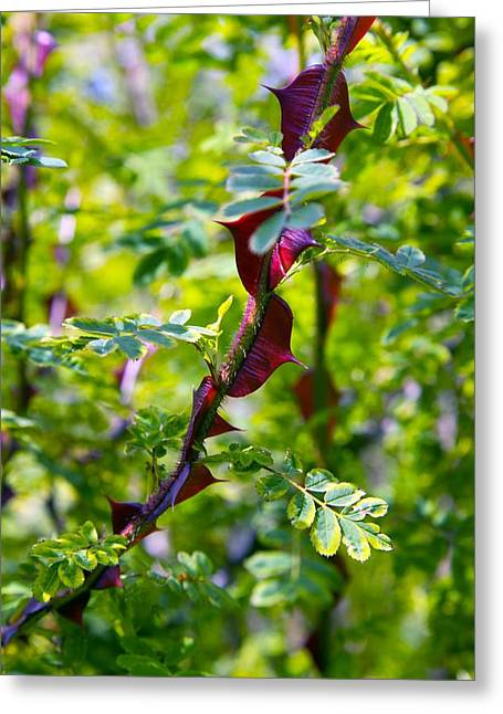 Rose (rosa Sericea Pteracantha) Greeting Card by Dr Keith Wheeler