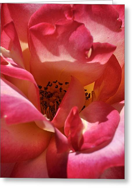 Rose Splendor Greeting Card