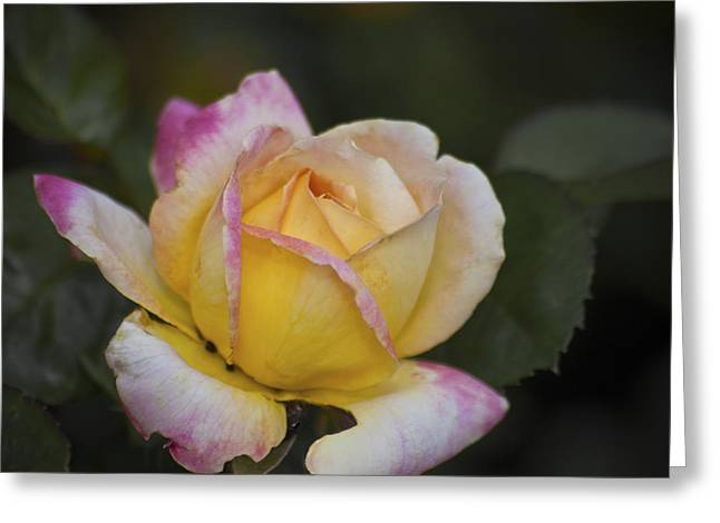 Rose With Pink Tips Greeting Card