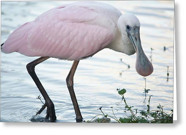Roseate Spoonbill 3 Greeting Card by Andrea  OConnell