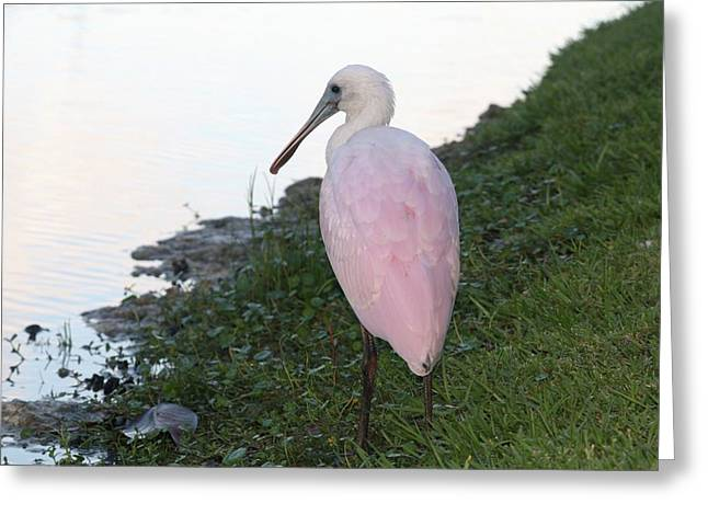 Roseate Spoonbill 4 Greeting Card by Andrea  OConnell