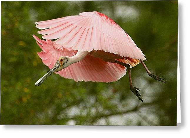 Roseate Spoonbill In Flight Greeting Card by Myrna Bradshaw