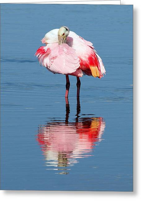 Roseate Spoonbill Poser Greeting Card by Phil Stone