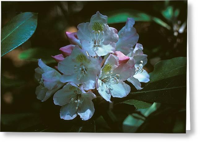 Rosebay Rhododendron 3b Greeting Card