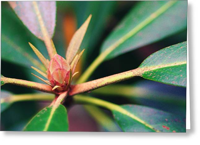 Rosebay Rhododendron Bud Greeting Card by Susie Weaver