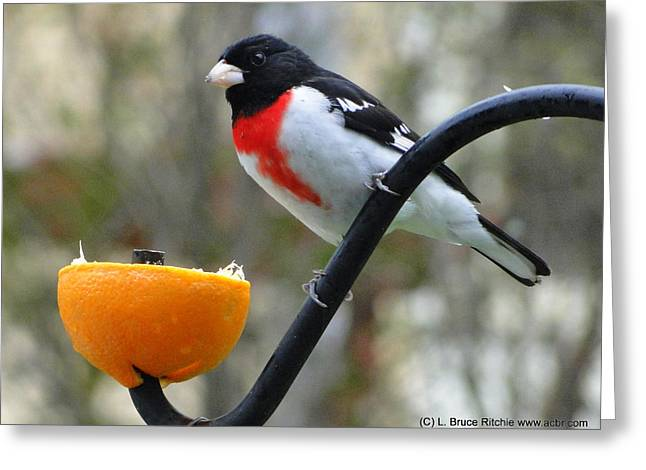 Rosebreasted Grossbeak Eating Orange Greeting Card by Bruce Ritchie