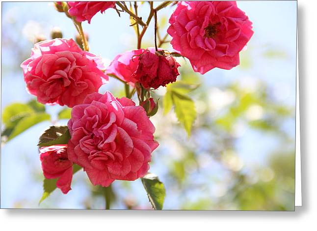 Roses Greeting Card by Gal Ashkenazi