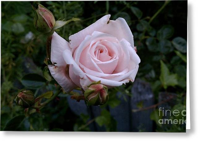 Roses In Bloom Greeting Card by Garnett  Jaeger