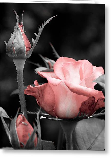 Roses In Pink And Gray Greeting Card by Michelle Joseph-Long