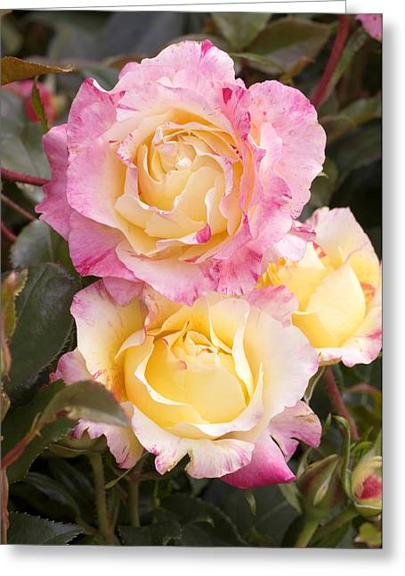Roses (rosa 'camille Pissaro') Greeting Card