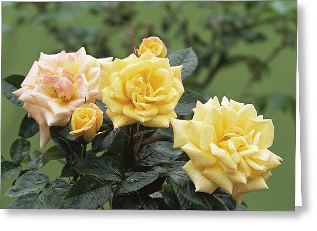 Roses (rosa 'golden Showers') Greeting Card by Archie Young