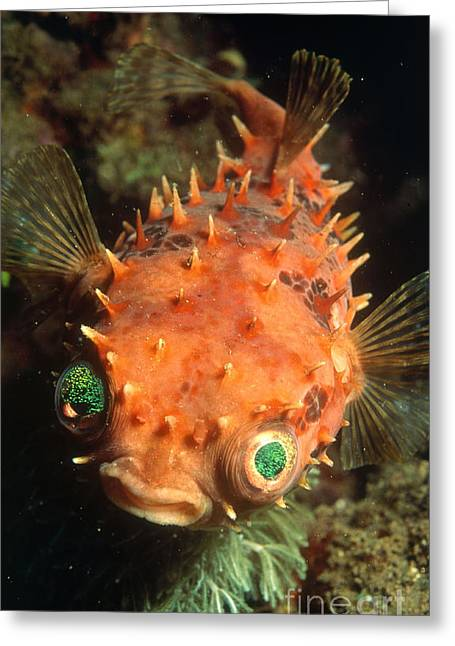 Rounded Porcupine Fish Greeting Card by Nature Source