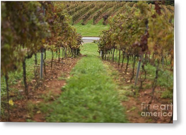 Rows Of Grape Vines Greeting Card by Roberto Westbrook
