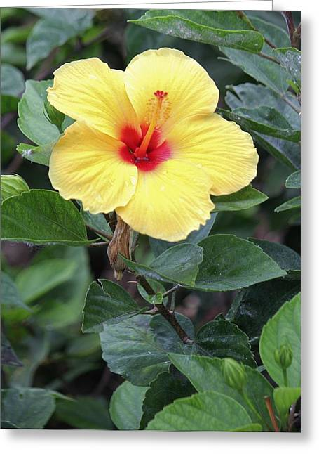 Royal Hibiscus Greeting Card by Craig Wood