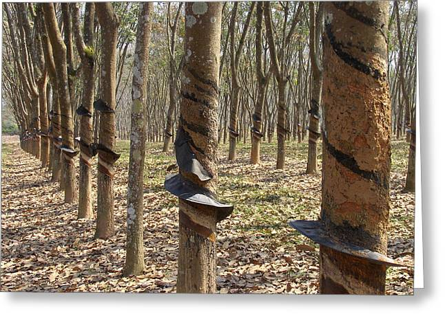 Rubber Tree Plantation Greeting Card
