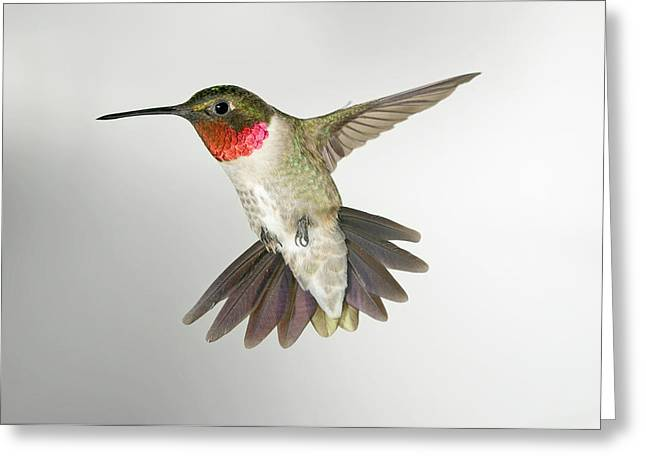 Ruby Throat Hummingbird Greeting Card by Gregory Scott