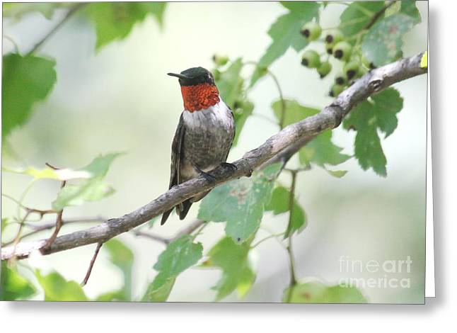 Ruby Throat Greeting Card by Theresa Willingham