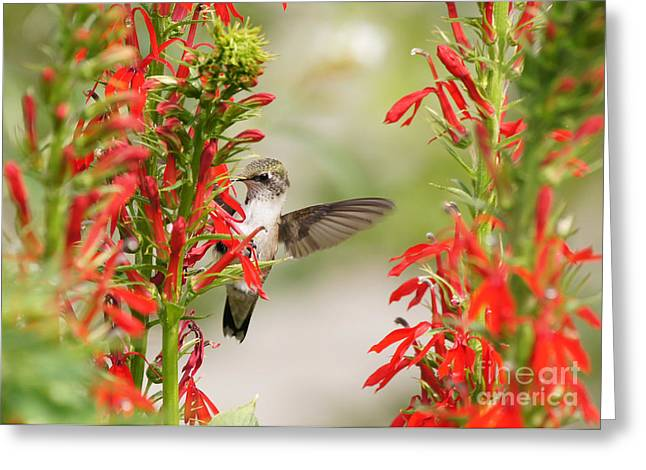Ruby-throated Hummingbird And Cardinal Flower Greeting Card