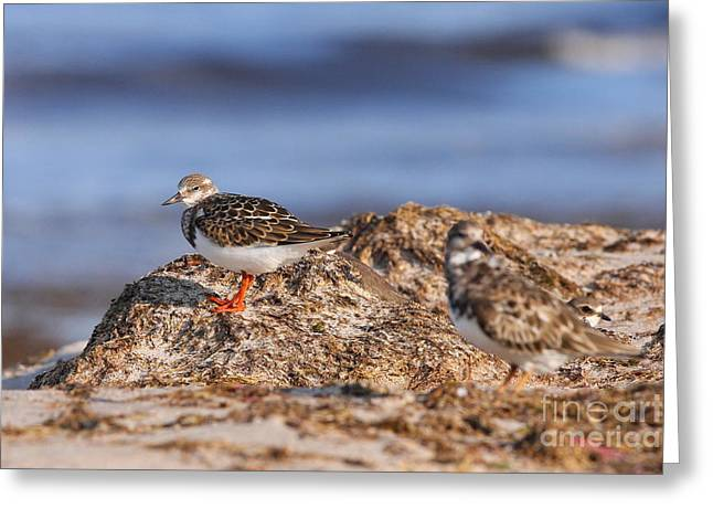 Greeting Card featuring the photograph Ruddy Turnstone  by Jennifer Zelik