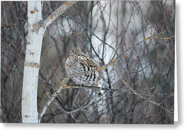 Ruffed Grouse Roosting Greeting Card
