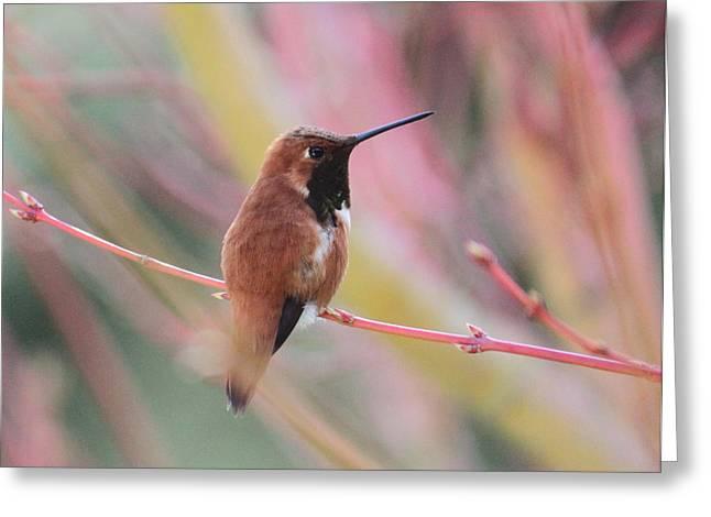 Rufous Hummingbird 3 Greeting Card