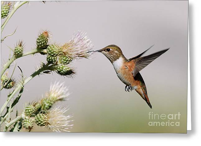 Rufous Hummingbird Greeting Card by Doug Herr