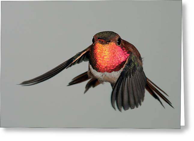 Greeting Card featuring the photograph Rufous Hummingbird Downstroke by Gregory Scott
