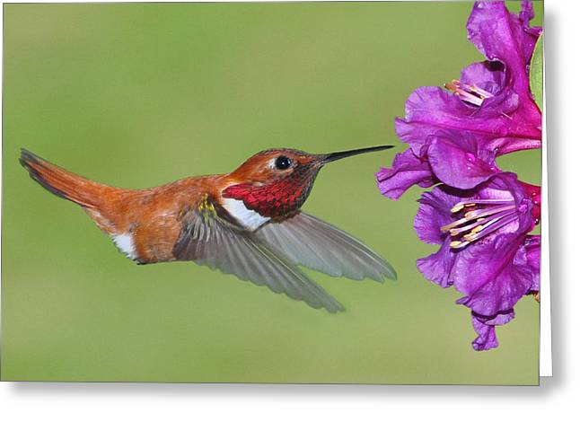 Greeting Card featuring the photograph Rufous N Blooms by Jack Moskovita