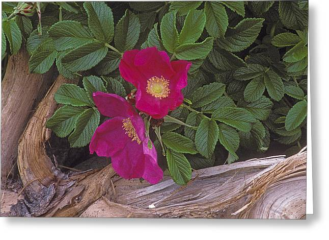 Rugosa Rose And Driftwood Greeting Card