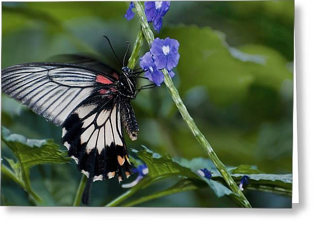 Rumanzovia Swallowtail-papilio Rumanzovia Female Greeting Card