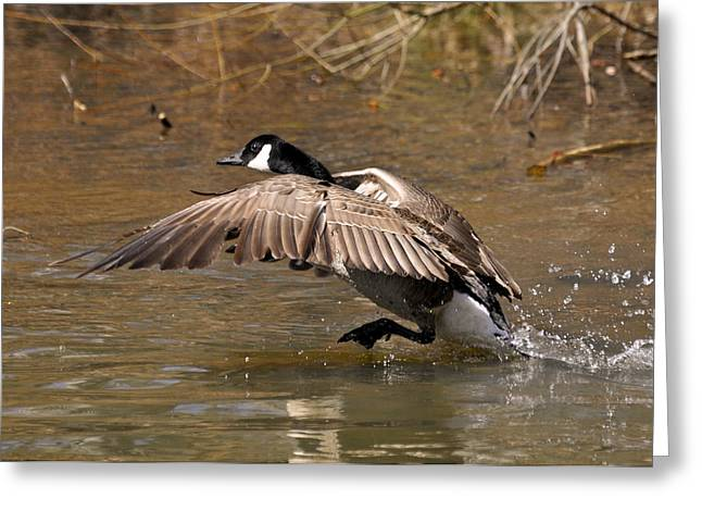 Running Atop The Water Canada Goose  - C2660a Greeting Card by Paul Lyndon Phillips