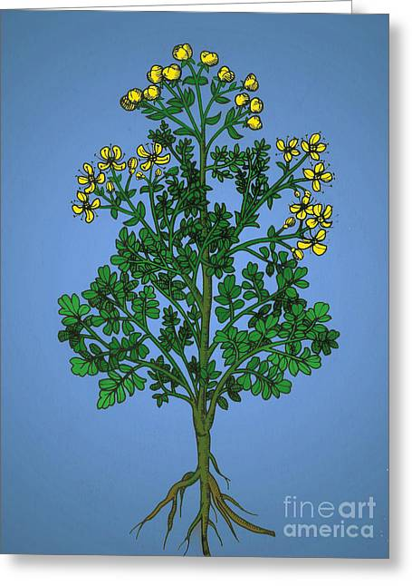 Ruta Graveolens, Alchemy Plant Greeting Card by Science Source