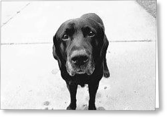 Greeting Card featuring the photograph Sad Lab by Lennie Green