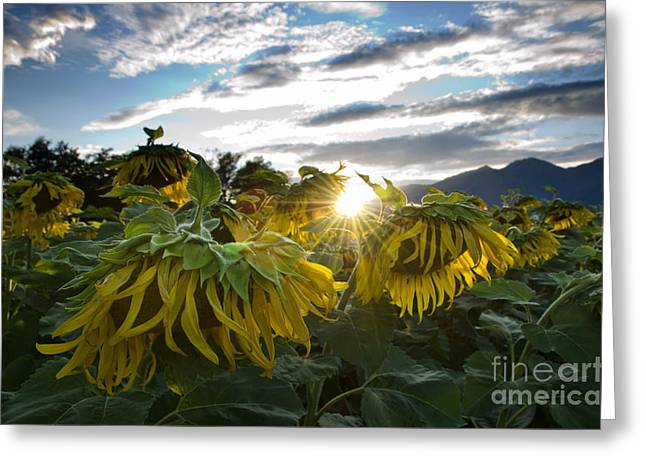 Sad Sunflowers Greeting Card by Mats Silvan