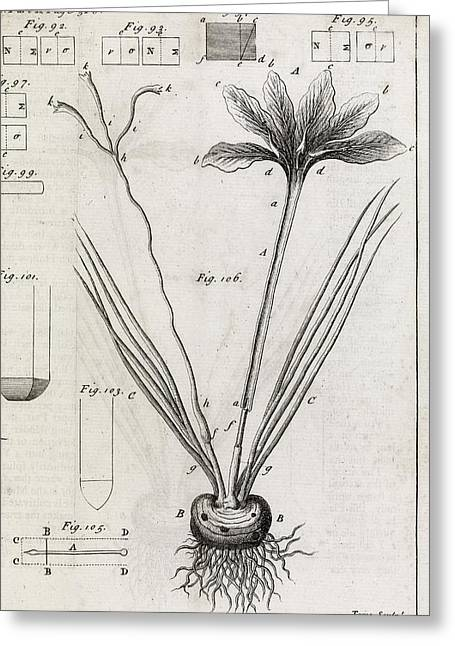 Saffron Plant, 18th Century Greeting Card by Middle Temple Library