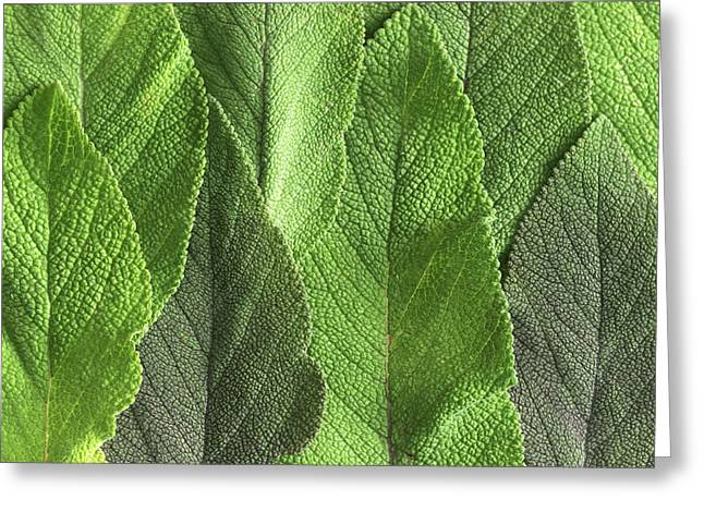 Sage Leaves Greeting Card by Dilston Physic Gardencolin Cuthbert