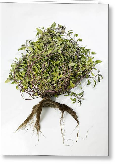 Sage Plant And Roots Greeting Card by Dilston Physic Gardencolin Cuthbert
