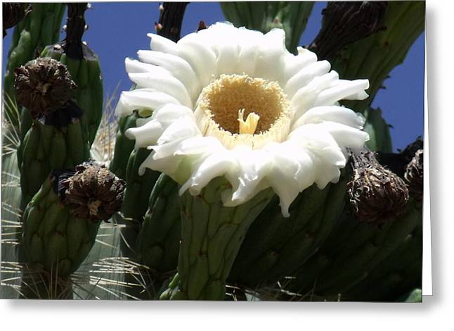 Saguaro Bloom Greeting Card