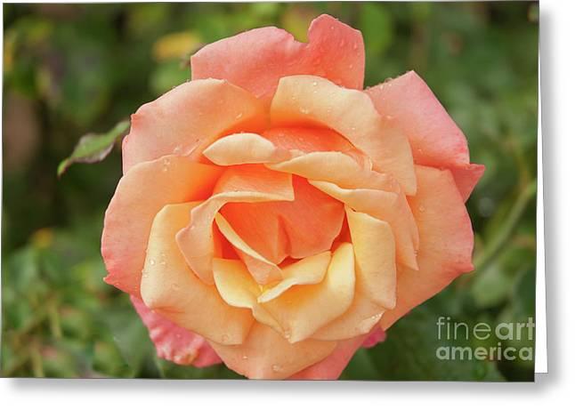 Salmon Rose Greeting Card
