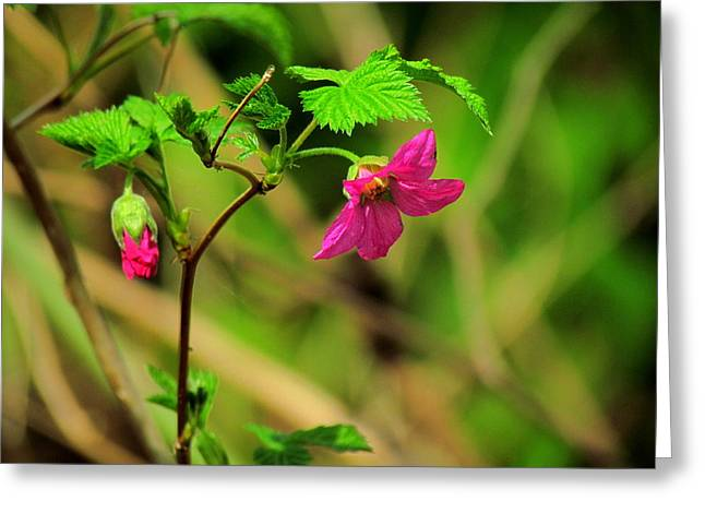 Salmonberry Greeting Card