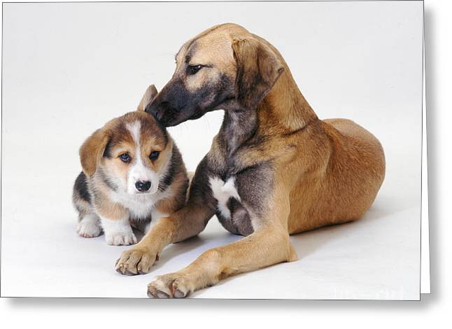 Saluki Lurcher And Corgi Puppy Greeting Card by Jane Burton