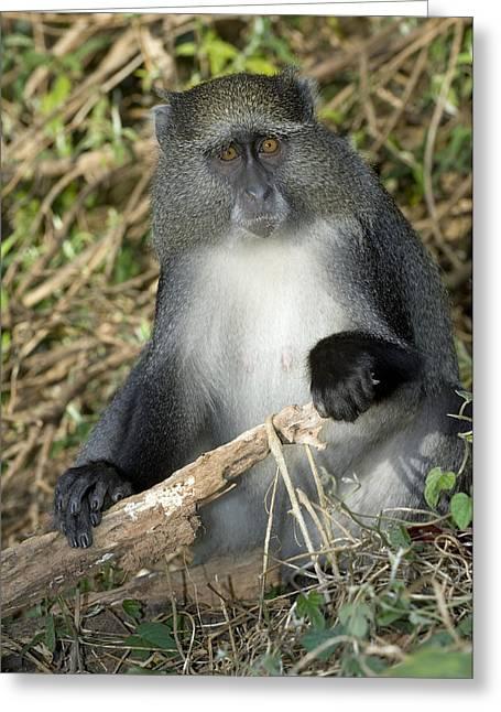 Samango Monkey Greeting Card