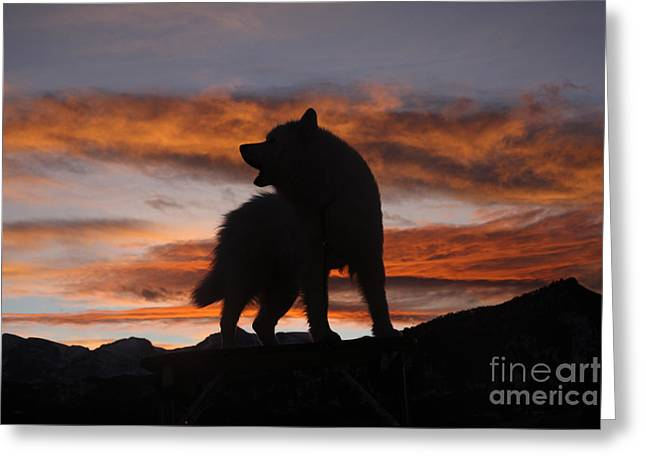 Samoyed At Sunset Greeting Card by Kent Dannen and Photo Researchers