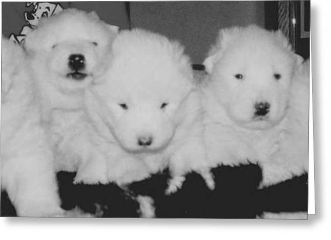 Samoyed Puppies Greeting Card by Tammy Sutherland
