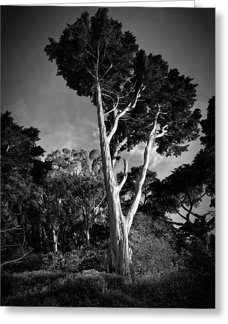 San Francisco Tree Greeting Card by Matt  Trimble