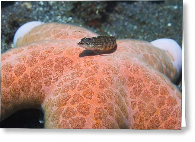 Sand Perch On A Granulated Starfish Greeting Card by Georgette Douwma